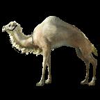 BDO Brown Camel