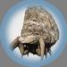 High Head Stoneback Crab