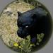Immature Black Leopard